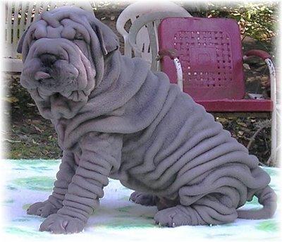 shar peis dogs