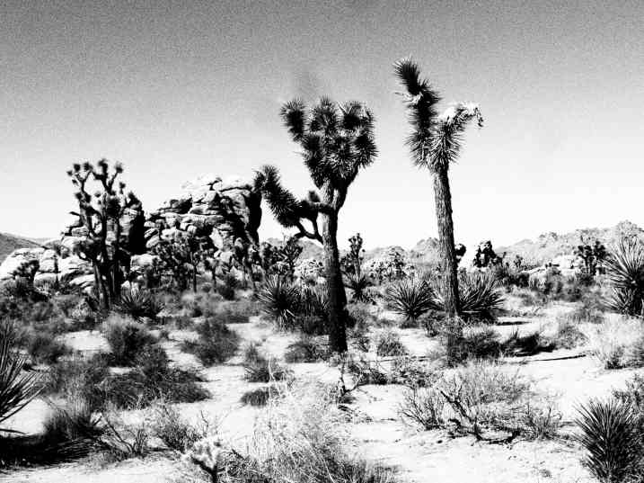 Joshua Trees in Cali.
